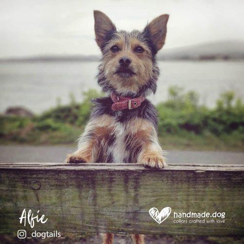 Alfie wearing a Red Herringbone 'Harris Tweed' Collar