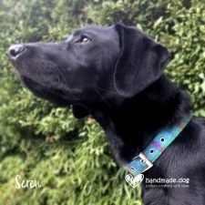 Seren wearing her Turquoise check 'Harris Tweed' dog collar
