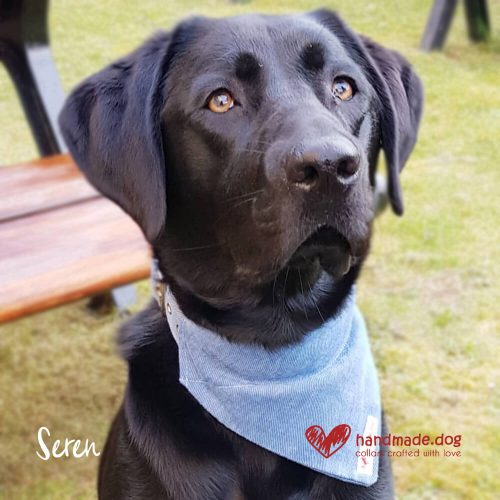 Seren wearing her Denim handmade dog collar and bandana.
