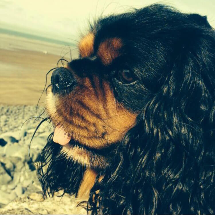 Max, our Cavalier King Charles Spaniel